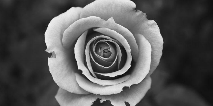 flawed rose